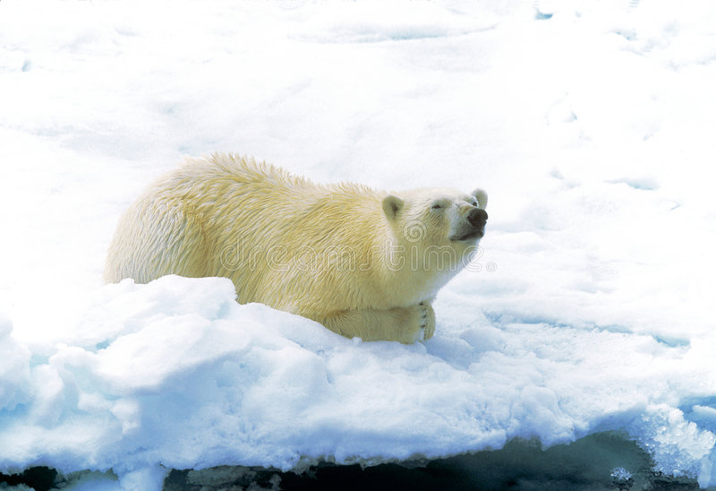 Polar Bear on Ice royalty free stock photo