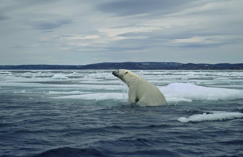 Polar bear on ice floe in Canadian Arctic. Polar bear climbing from swimming in the sea onto ice floe royalty free stock image