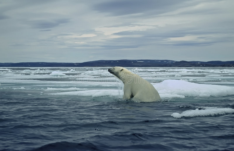 Polar bear on ice floe in Canadian Arctic royalty free stock photo