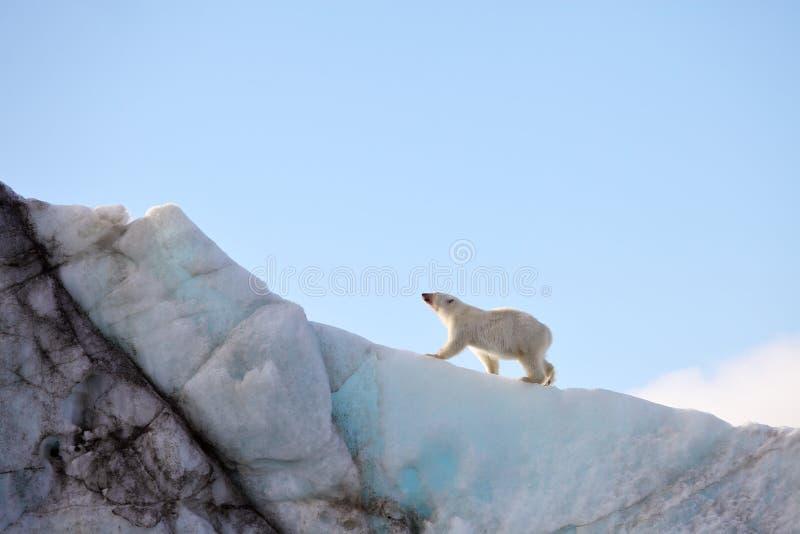 Polar bear on iceberg stock image