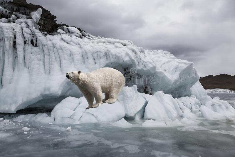 Polar bear among the ices near the frozen sea royalty free stock images