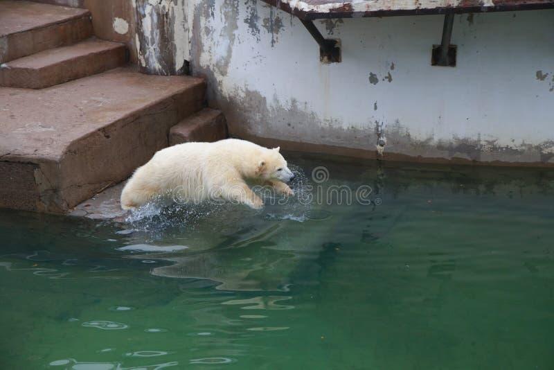 Polar Bear jump into the water. stock image