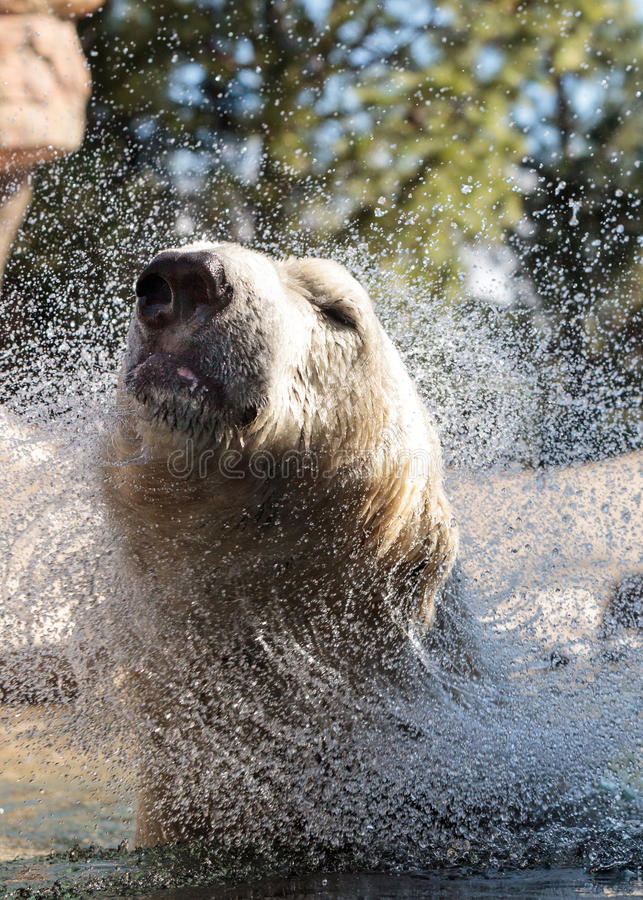 Polar bear known as Ursus maritimus. Swims in a cold pool with its mate and plays in the water royalty free stock image