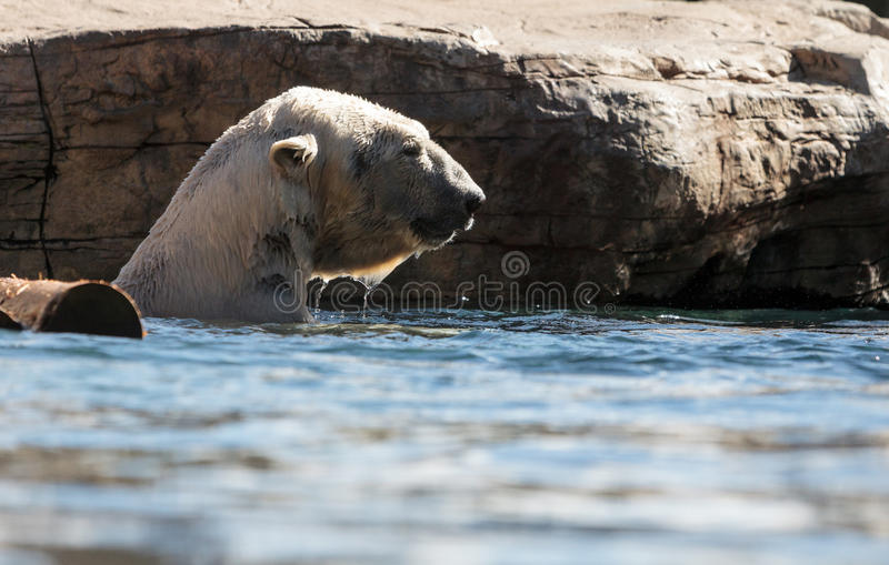 Polar bear known as Ursus maritimus. Swims in a cold pool with its mate and plays in the water stock photo