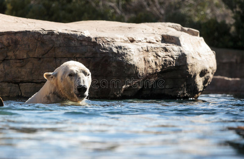 Polar bear known as Ursus maritimus. Swims in a cold pool with its mate and plays in the water royalty free stock images