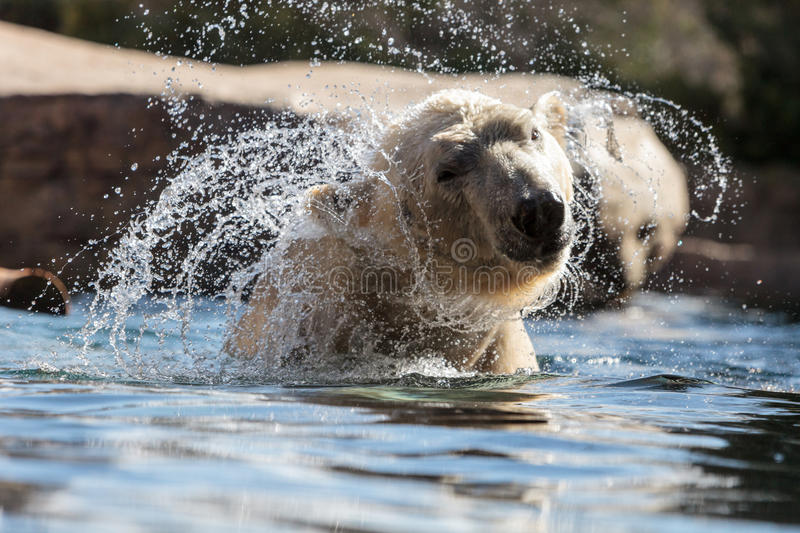 Polar bear known as Ursus maritimus. Swims in a cold pool with its mate and plays in the water stock photography