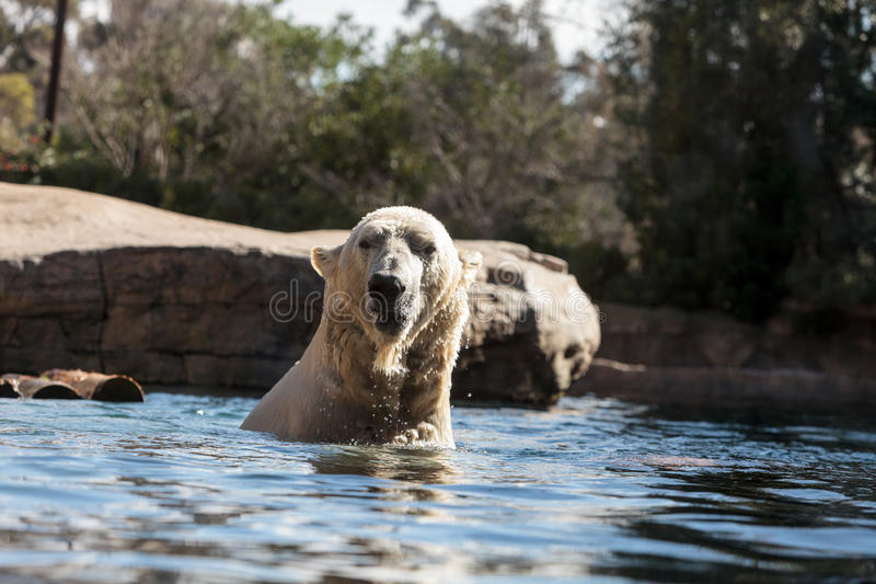 Polar bear known as Ursus maritimus. Swims in a cold pool with its mate and plays in the water royalty free stock photo