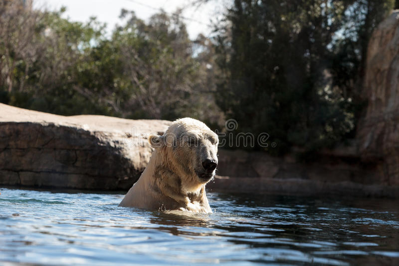 Polar bear known as Ursus maritimus. Swims in a cold pool with its mate and plays in the water stock image