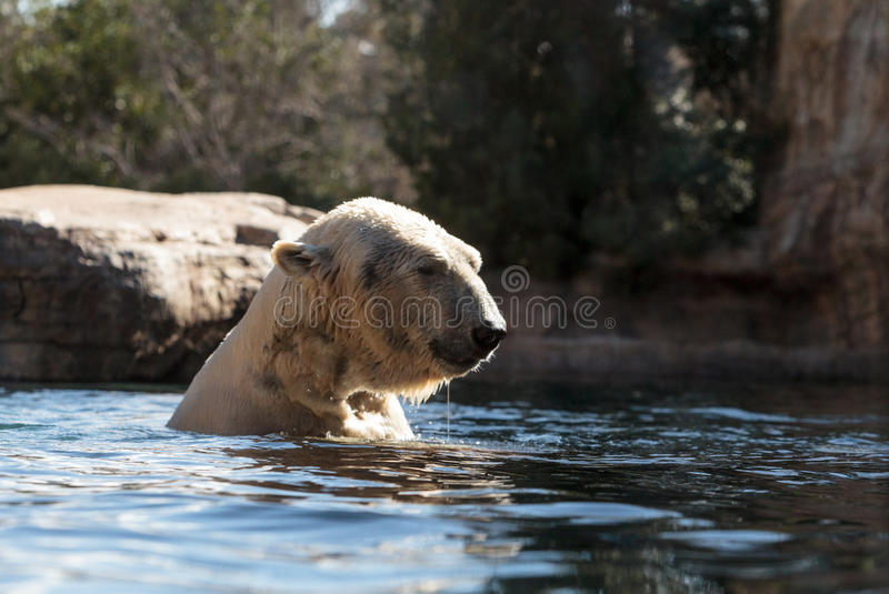 Polar bear known as Ursus maritimus. Swims in a cold pool with its mate and plays in the water royalty free stock photos