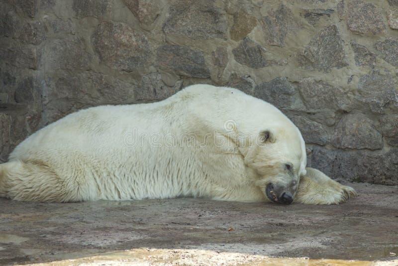 Polar bear royalty free stock photo