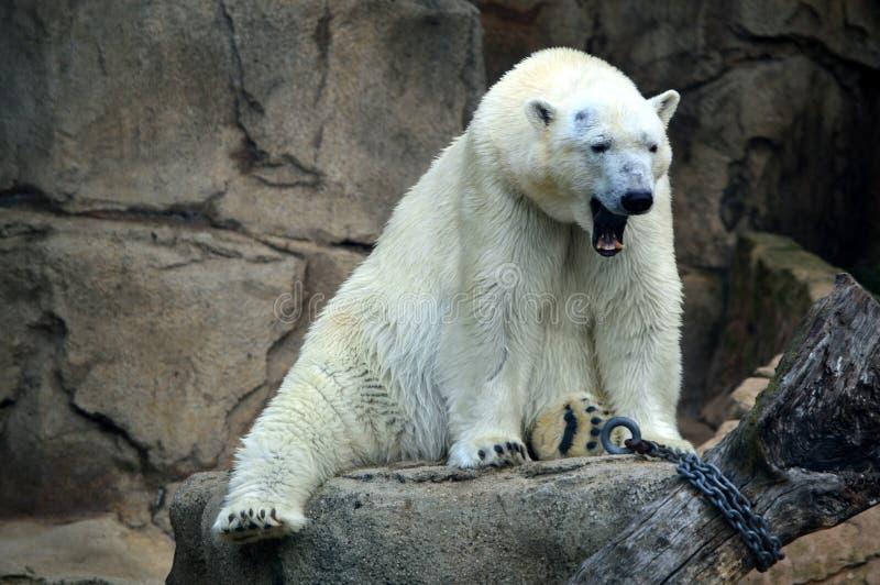 Polar Bear at Lincoln Park stock photos