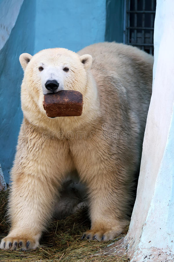 Download Polar Bear With A Loaf Of Bread Stock Photo - Image of bear, standing: 39511748