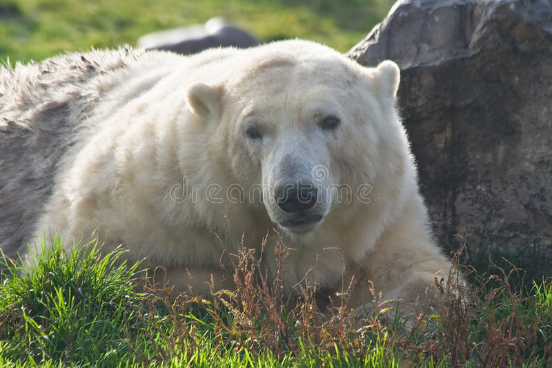 Polar bear looking. Polar bear resting in the sun and looking royalty free stock images