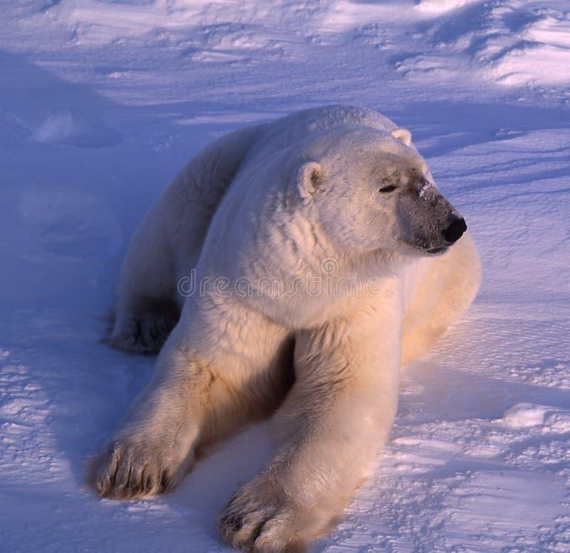 Download Polar Bear In Low Arctic Sunlight Stock Image - Image: 16034323