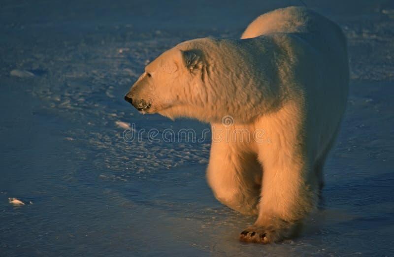 Polar Bear In Low Arctic Sunlight Royalty Free Stock Photography