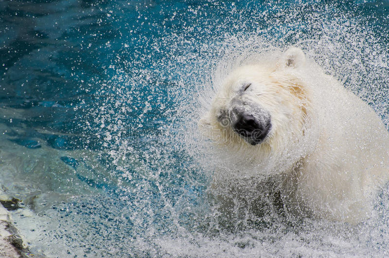 Polar bear after lunch royalty free stock images