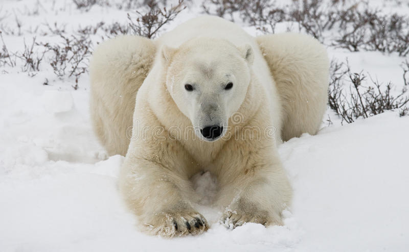 Polar bear lying in snow in the tundra. Canada. Churchill National Park. royalty free stock images