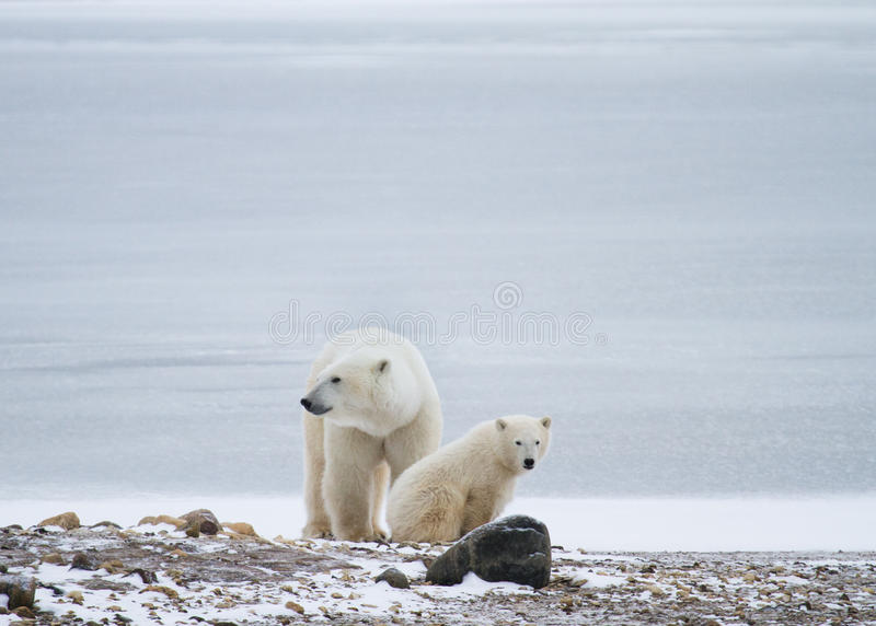 Polar bear mom and cub rest. A polar bear mother and cub sitting in front of icy background and resting; mother looking to the left, and cub looking towards stock image