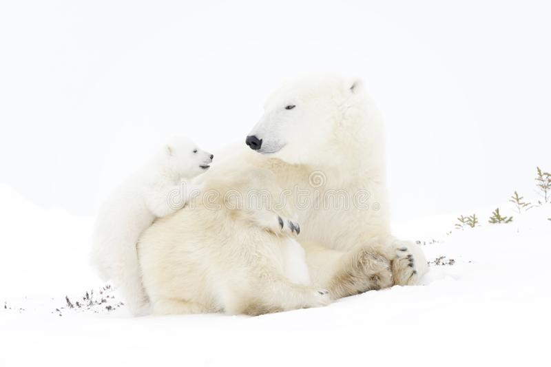 Polar bear mother with cub stock images