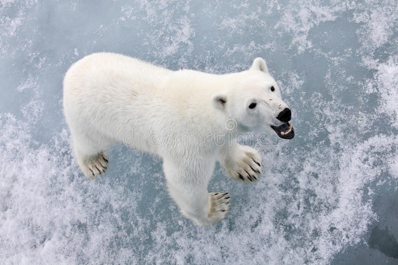 Polar bear. In natural Arctic environment royalty free stock images