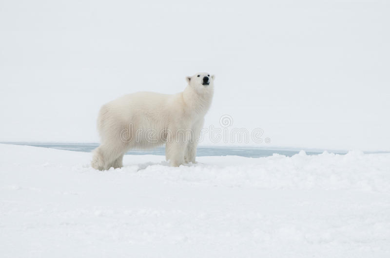 Polar bear north of Spitsbergen (Svalbard) close to the North Pole Norway royalty free stock photos