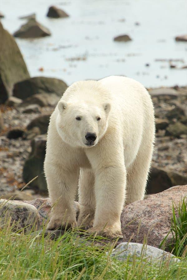 Free Polar Bear On The Shore 1 Stock Photo - 34135820