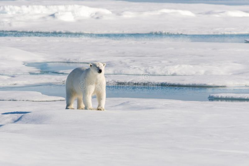 Polar bear on the pack ice north of Spitsbergen Island stock photography