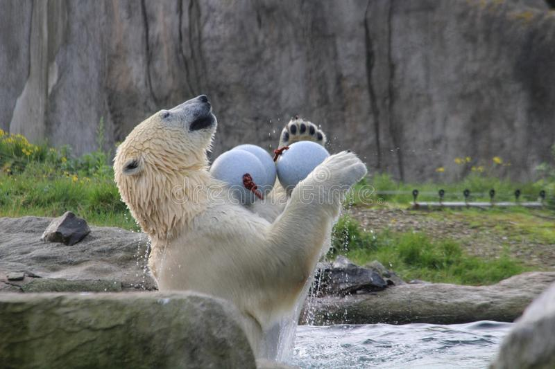 Playing polar bear. This polar bear is playing in the morning in the zoo blijdorp in rotterdam, with the playingballs in the pool. he has a lot of fun playing stock photography