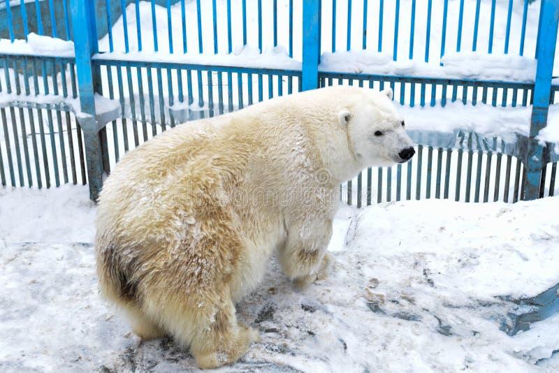 Polar bear. On the snow royalty free stock photos