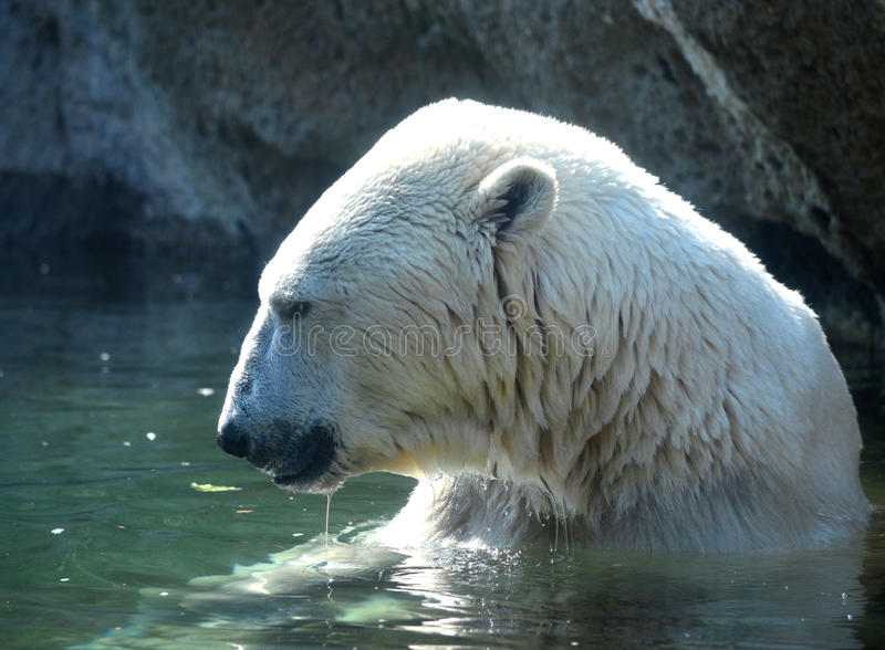 Download Polar Bear in a Pond stock image. Image of captivity - 26670425