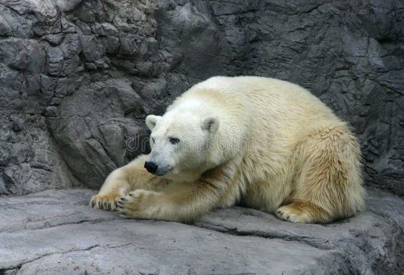 Polar bear resting stock photo
