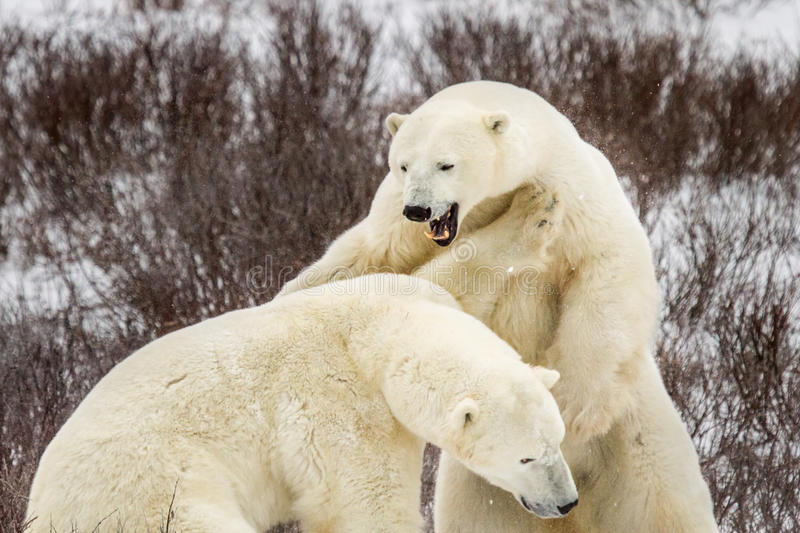 Polar bear roar and fight. One polar bear with large teeth roars and jumps on another bear; bushes in background royalty free stock photography