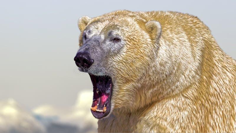 Polar Bear roar. Ing or yawning stock photos