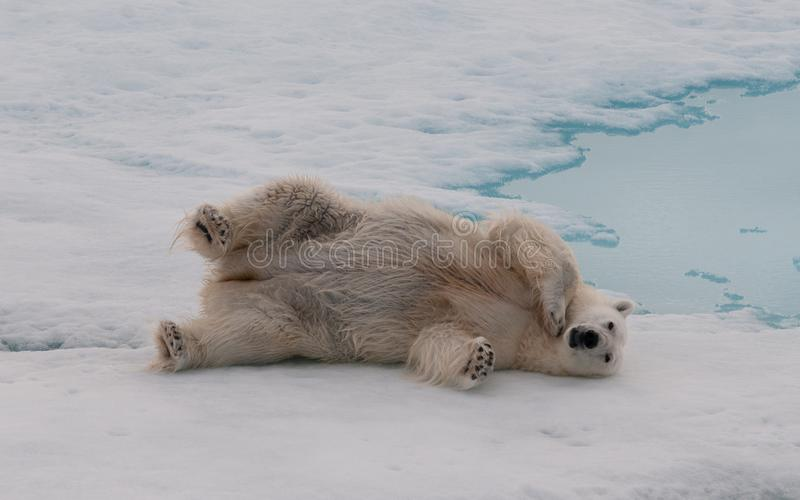 Adult Polar Bear rolling on sea-ice, Svalbard royalty free stock photo