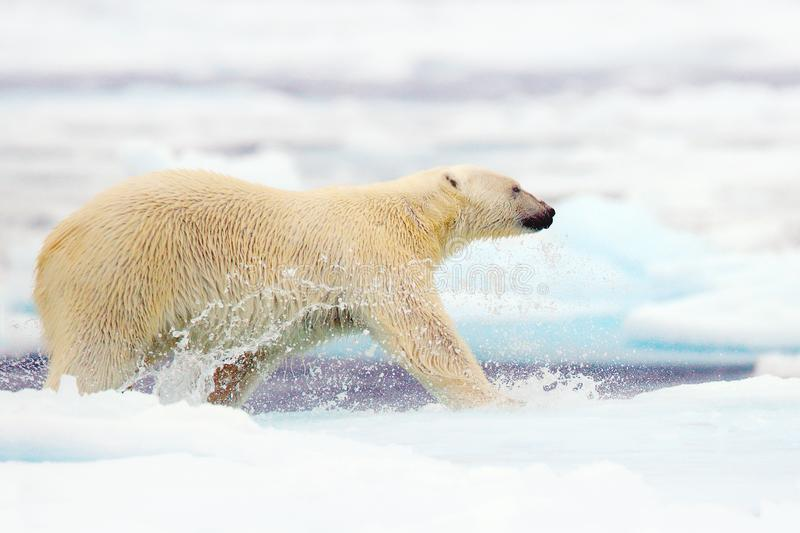 Polar bear running in the sea water. Polar bear in the nature. Big polar bear on drift ice edge with snow a water in Arctic Svalba. Rd, Norway. Danger animal in stock images
