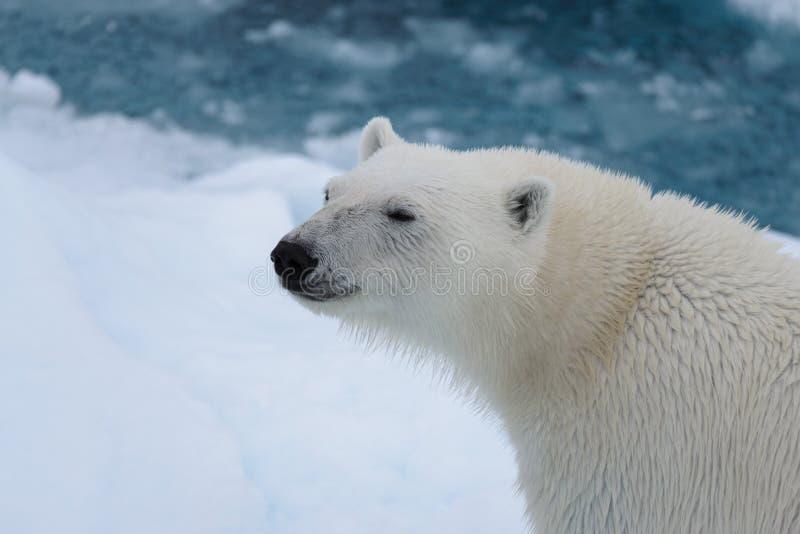 Polar bear`s Ursus maritimus head close up royalty free stock images