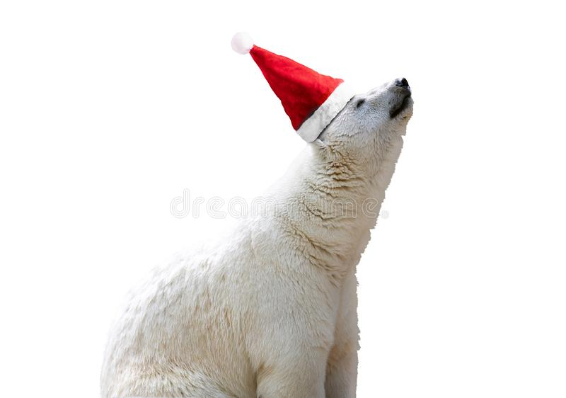 Polar bear in Santa hat. White polar bear in red Santa hat. Isolated on white background, merry christmas concept stock photography