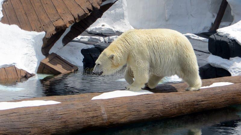 Polar Bear at Seaworld royalty free stock images