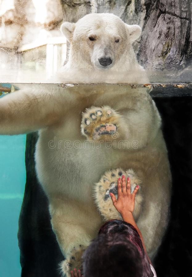 POLAR BEAR IN SEE THROUGH TANK OF WATER LOOKING DOWN AT LITTLE GIRL WITH HAND ON GLASS royalty free stock image