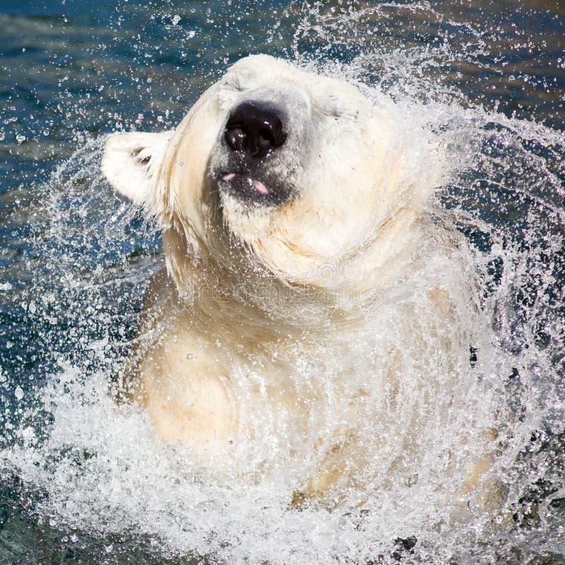 Polar Bear Shaking Off Water stock photos