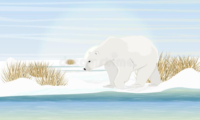 Polar bear on the shore by the sea. Dry grass, snow. Animals of the Arctic Circle royalty free illustration