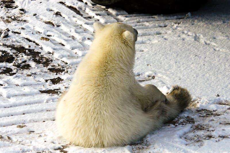Polar Bear sitting royalty free stock images