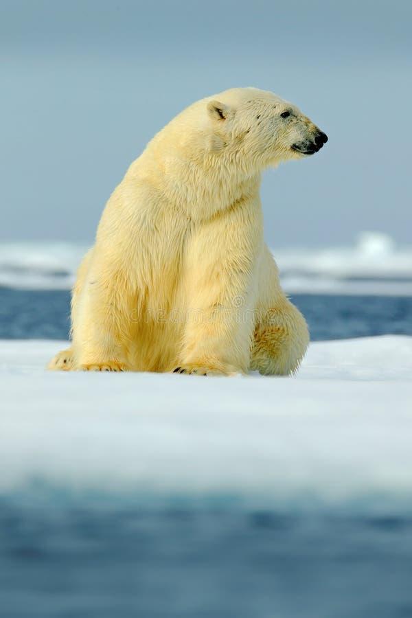 Polar bear sitting on drift ice with snow. White animal in the nature habitat, Canada. Standing polar bear in the cold sea. Polar stock photo