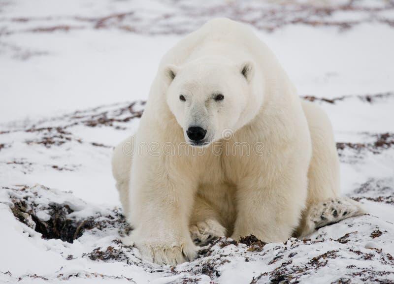 Polar bear sitting in the snow on the tundra. Canada. Churchill National Park. royalty free stock photography