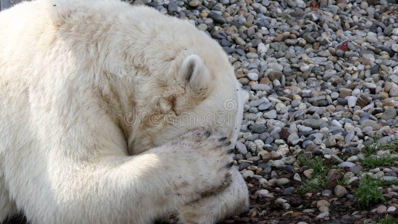 Polar bear sleeping stock photography