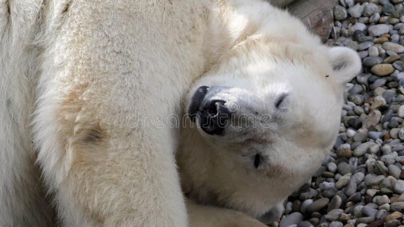 Polar bear sleeping stock photos