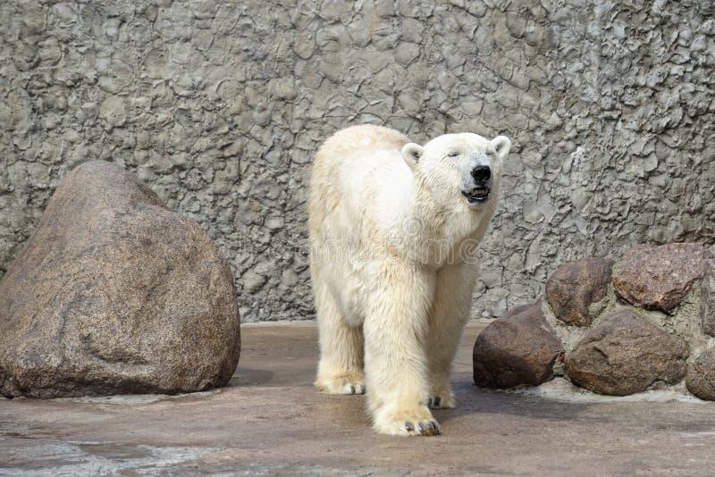 Polar bear smell air stock images