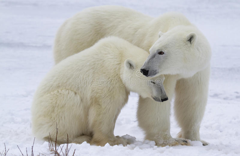Polar bear sow and cub royalty free stock image