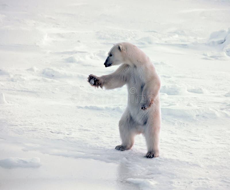 Polar bear standing royalty free stock image