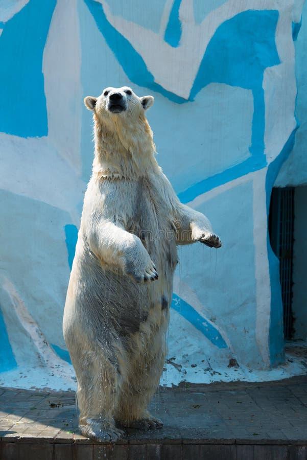 Polar bear standing on its hind legs stock photos